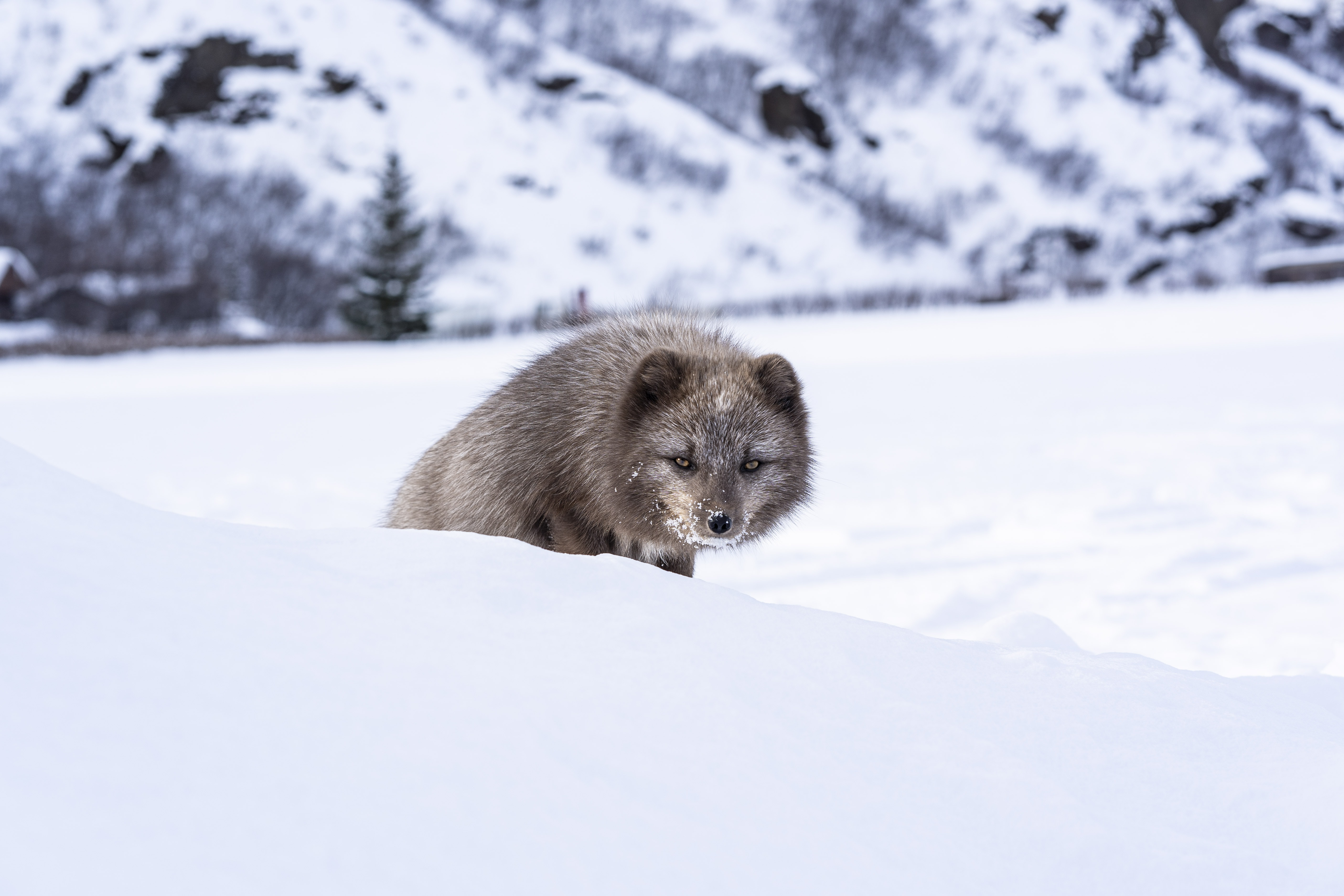 108545 download wallpaper Animals, Mink, Animal, Snow, Cunning, Sly screensavers and pictures for free