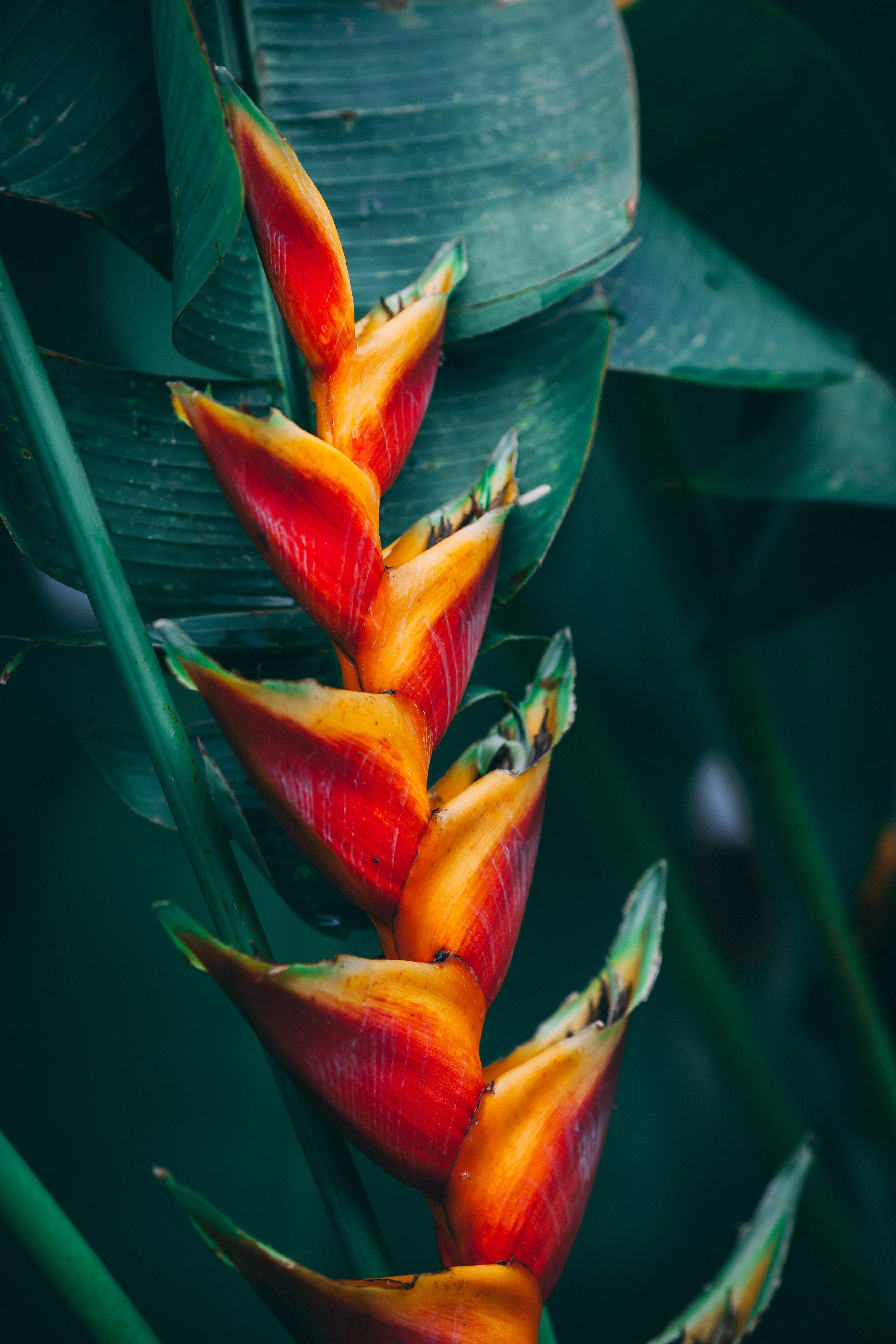 97380 免費下載壁紙 花卉, 花, 热带, 明亮的, 明亮, 植物, 异国情调 屏保和圖片