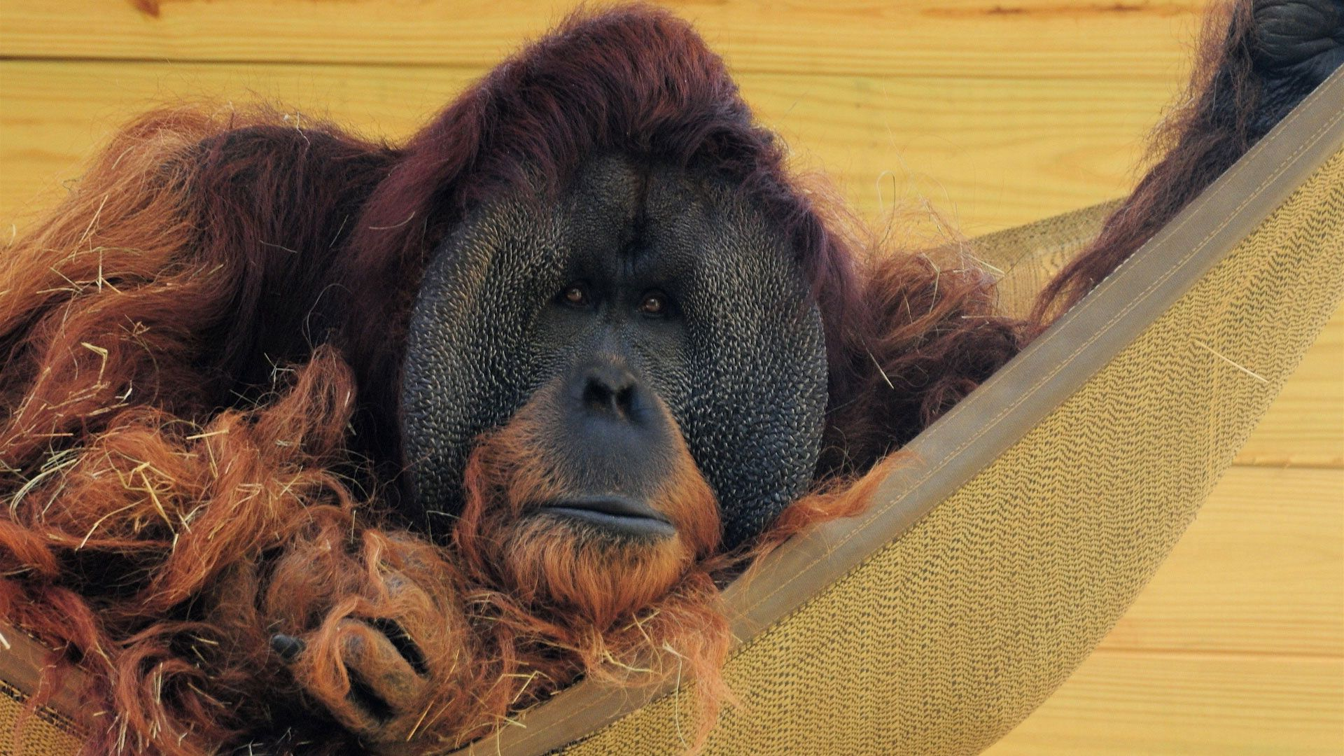 130975 Screensavers and Wallpapers Wool for phone. Download Animals, Wall, Wool, Straw, Hammock, Orangutan pictures for free