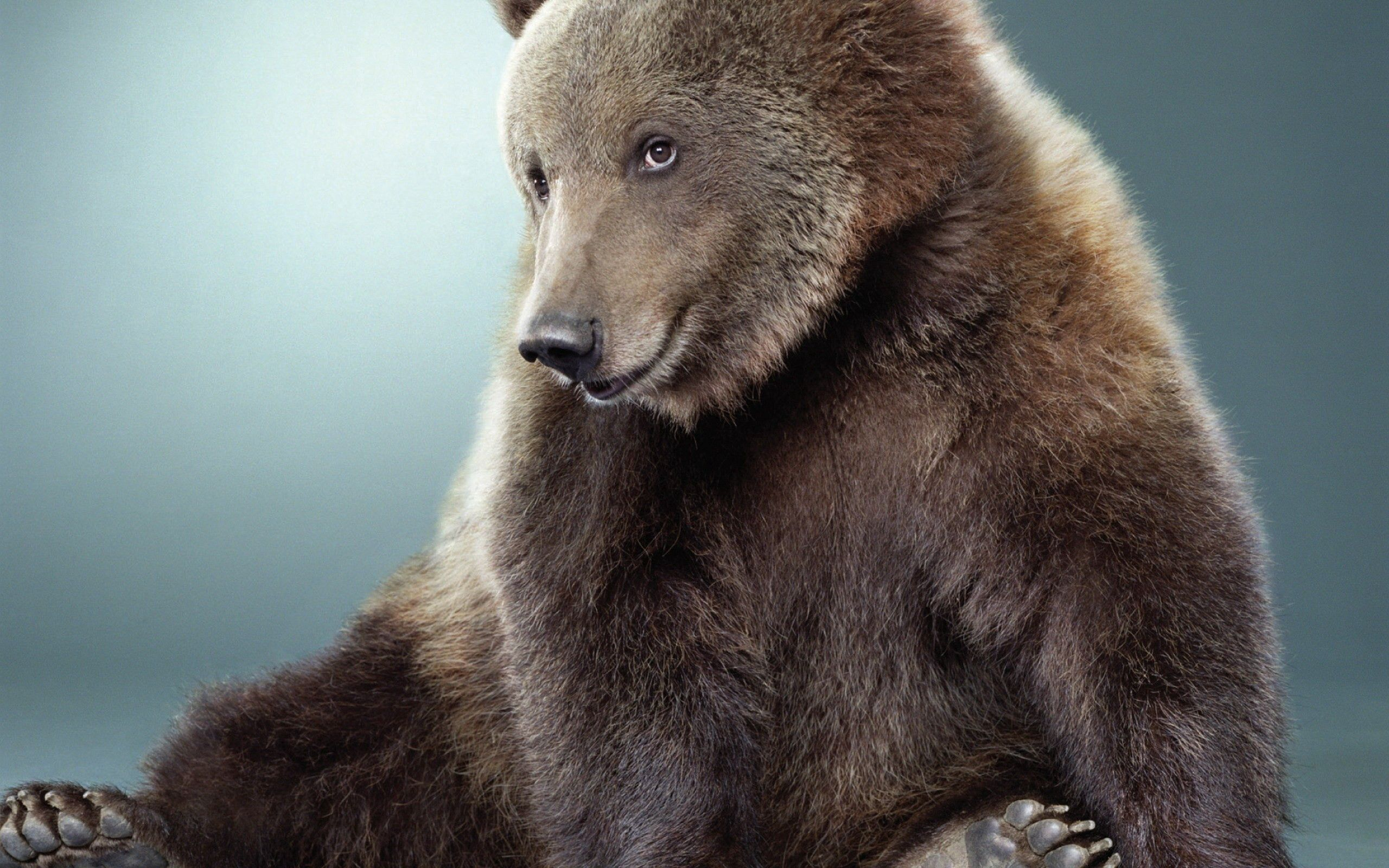 97452 download wallpaper Animals, Bear, Color, Nice, Sweetheart, Fur screensavers and pictures for free