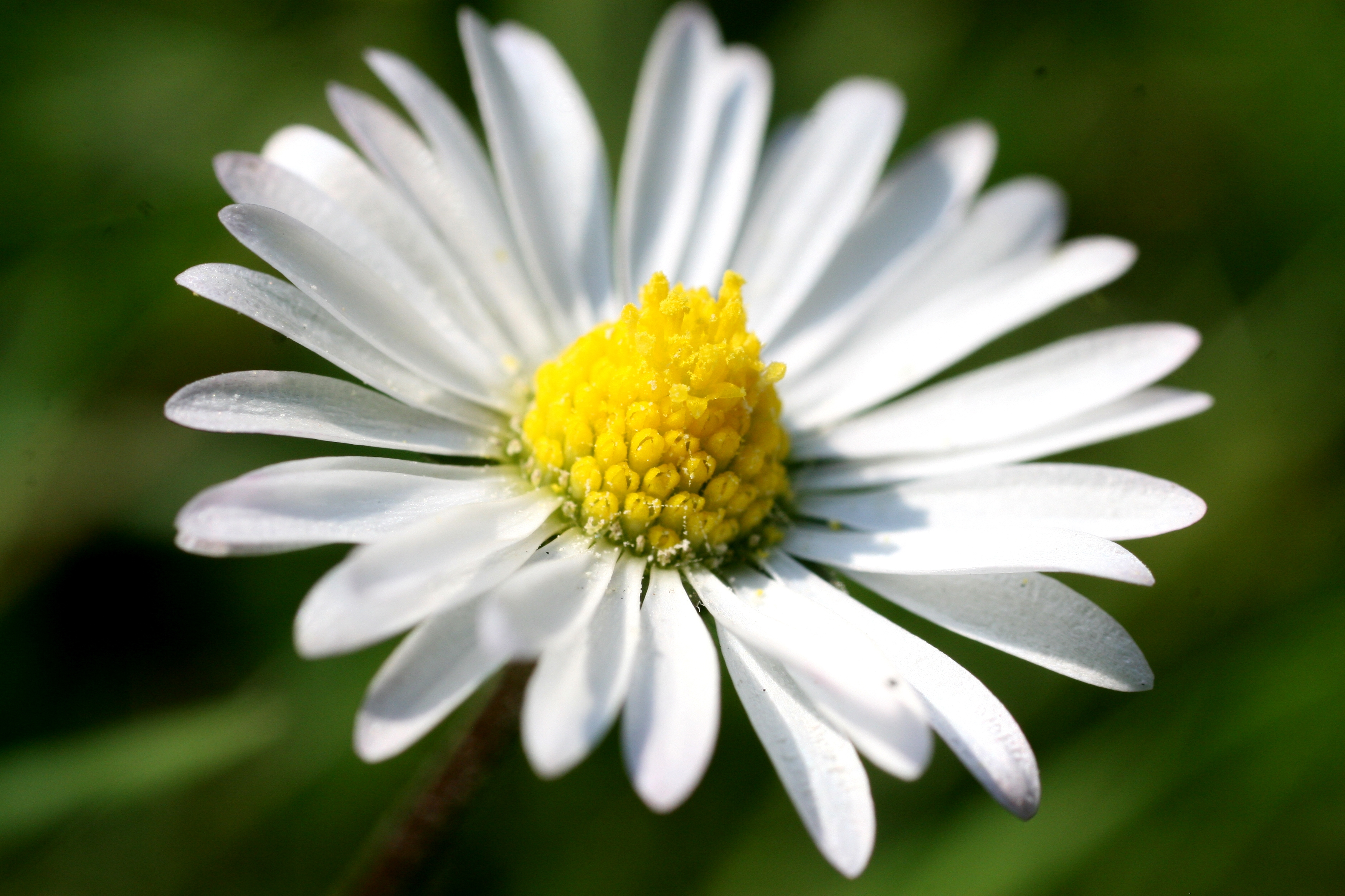150570 download wallpaper Macro, Chamomile, Camomile, Flower, Small, Petals screensavers and pictures for free