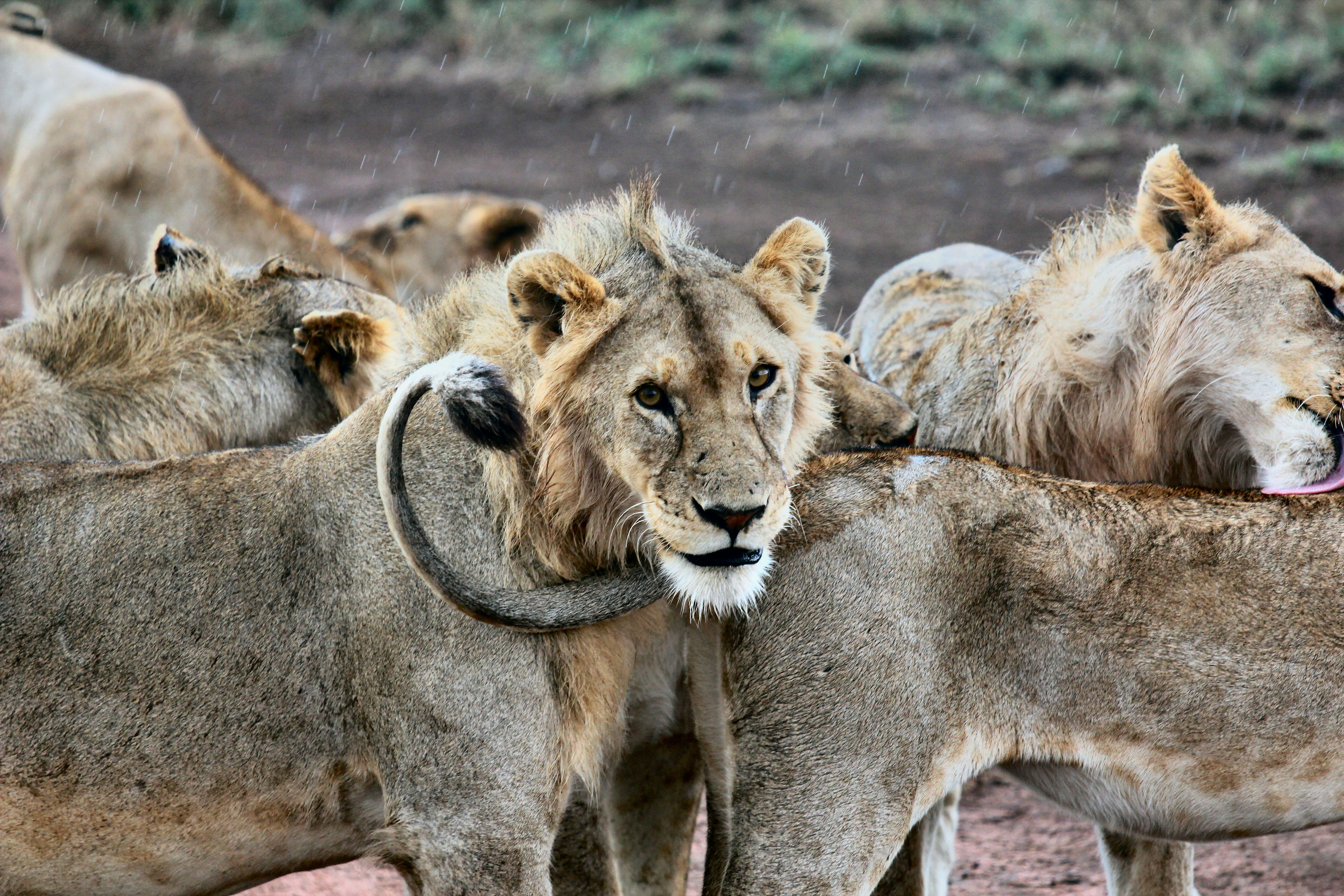 68772 download wallpaper Animals, Lion, Predators, Muzzle, Lions screensavers and pictures for free