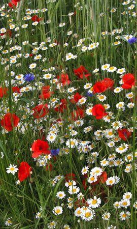 102091 скачать обои Цветы, Ромашки, Маки, Васильки, Трава, Поляна, Лето - заставки и картинки бесплатно