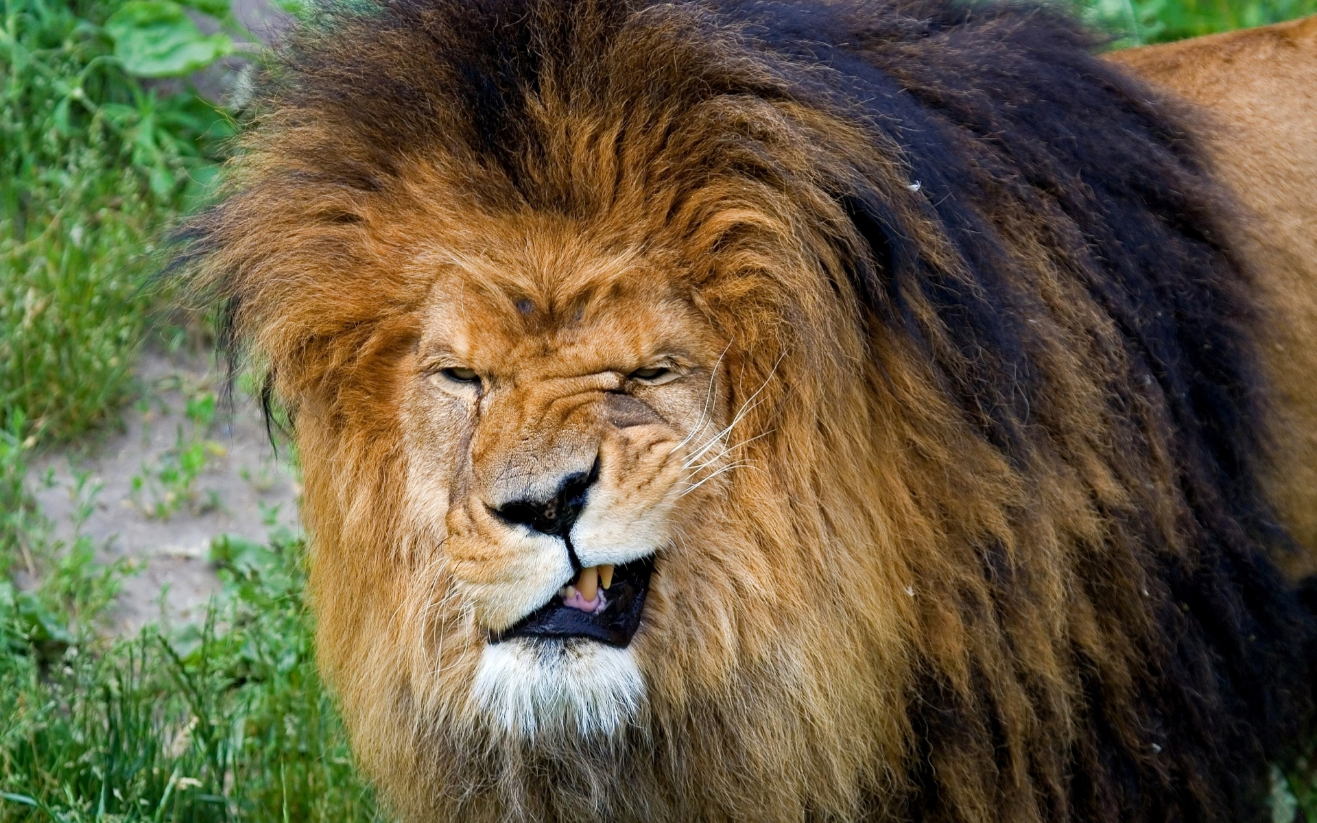 46580 download wallpaper Animals, Lions screensavers and pictures for free