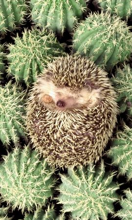 3 Screensavers and Wallpapers Animals for phone. Download Animals, Hedgehogs, Cactuses pictures for free