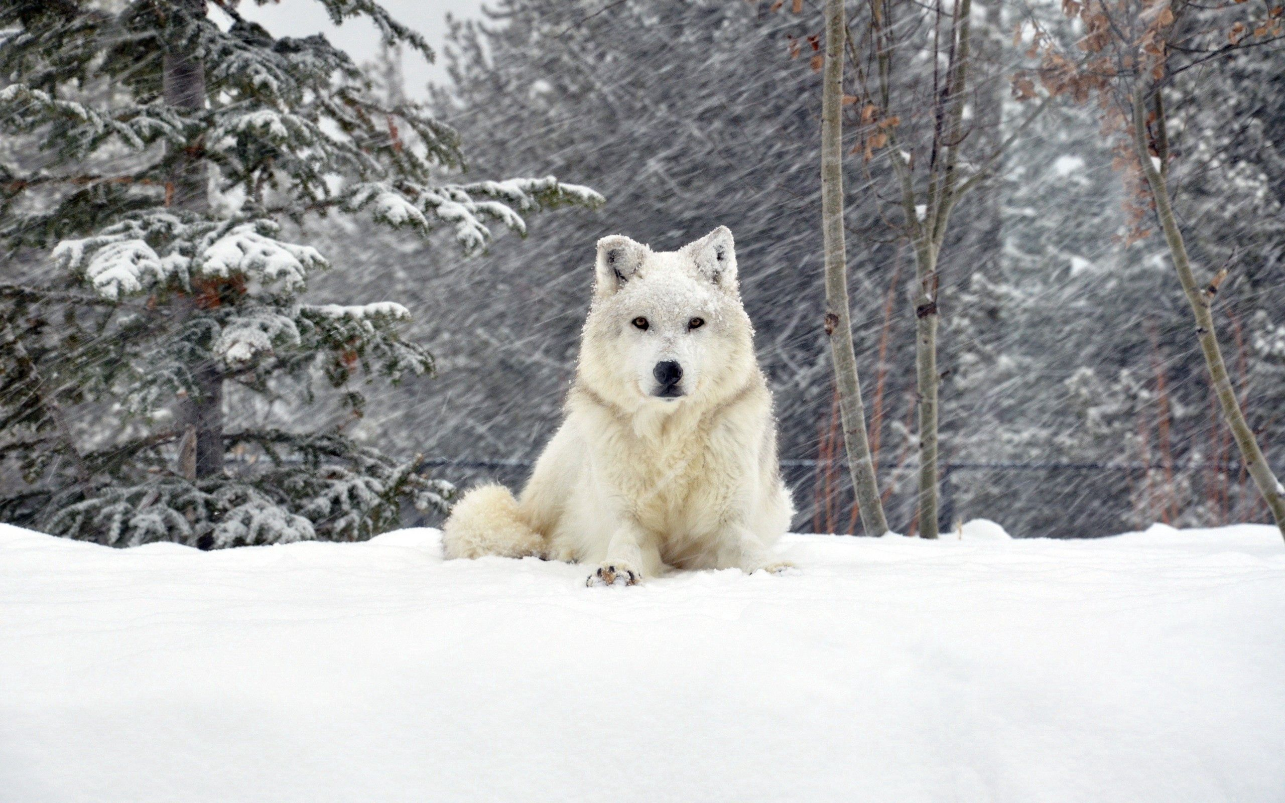 138053 download wallpaper Animals, Dog, Wolf, Forest, Snow, To Lie Down, Lie screensavers and pictures for free