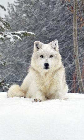 138053 Salvapantallas y fondos de pantalla Nieve en tu teléfono. Descarga imágenes de Animales, Perro, Lobo, Bosque, Nieve, Tumbarse, Mentir gratis