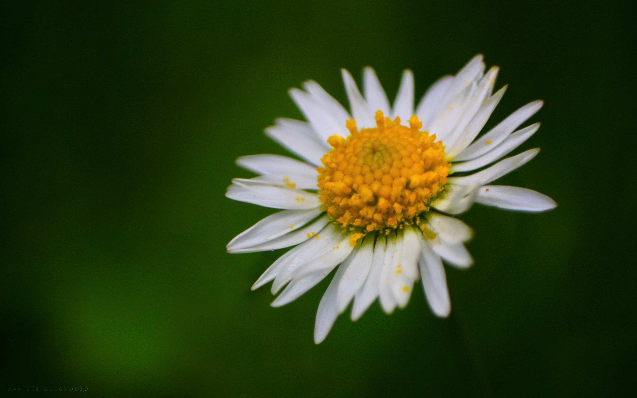 6992 скачать обои Растения, Цветы, Ромашки - заставки и картинки бесплатно