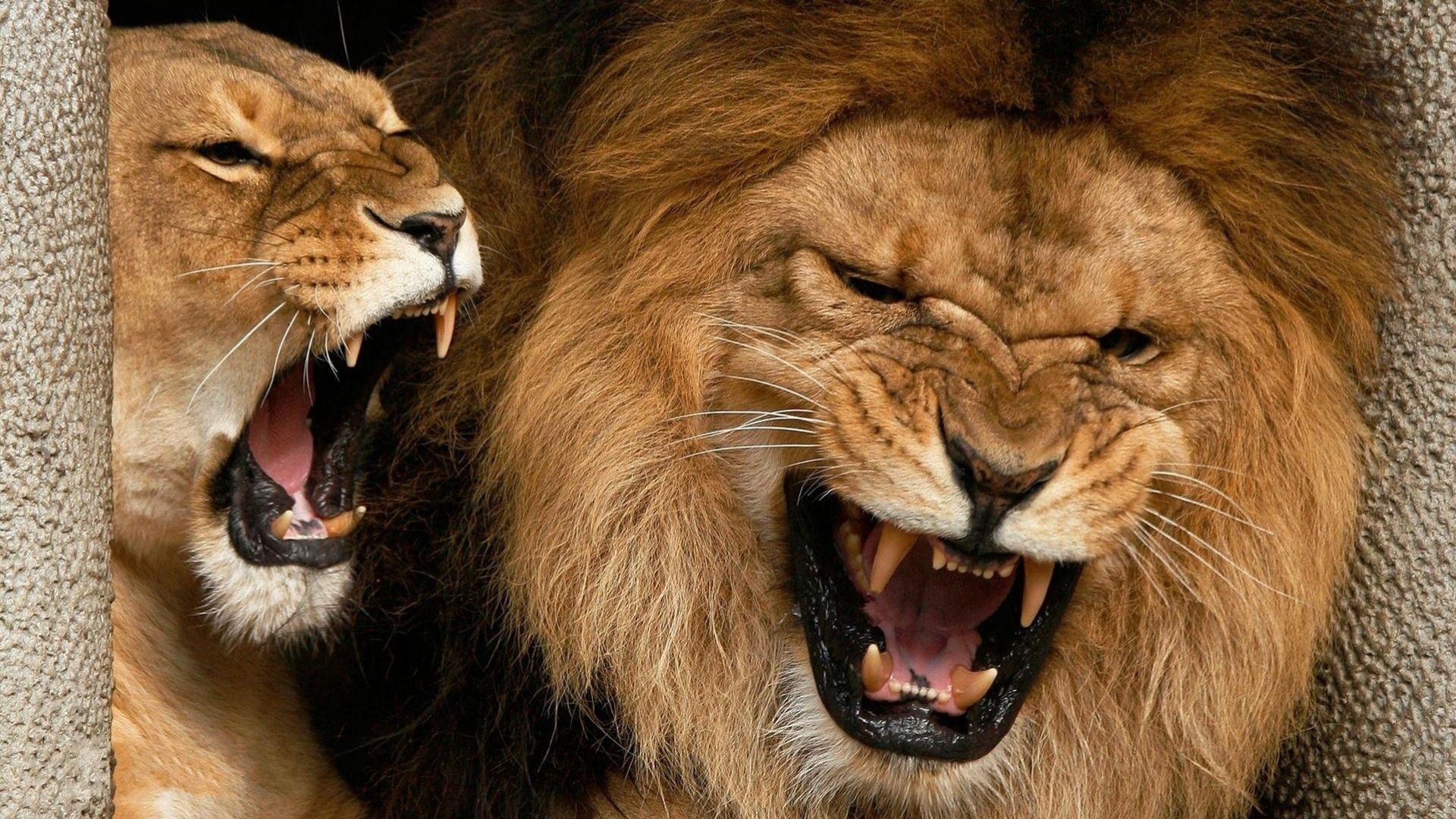 66017 fond d'écran 720x1520 sur votre téléphone gratuitement, téléchargez des images Animaux, Agression, Sourire, Coupler, Paire, Un Lion, Lion, Lionne 720x1520 sur votre mobile
