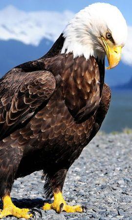 50274 baixar papel de parede Animais, Aves, Eagles - protetores de tela e imagens gratuitamente