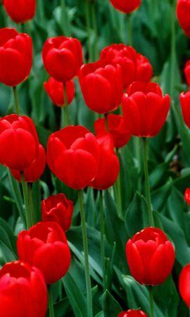 43285 descargar fondo de pantalla Plantas, Flores, Tulipanes: protectores de pantalla e imágenes gratis