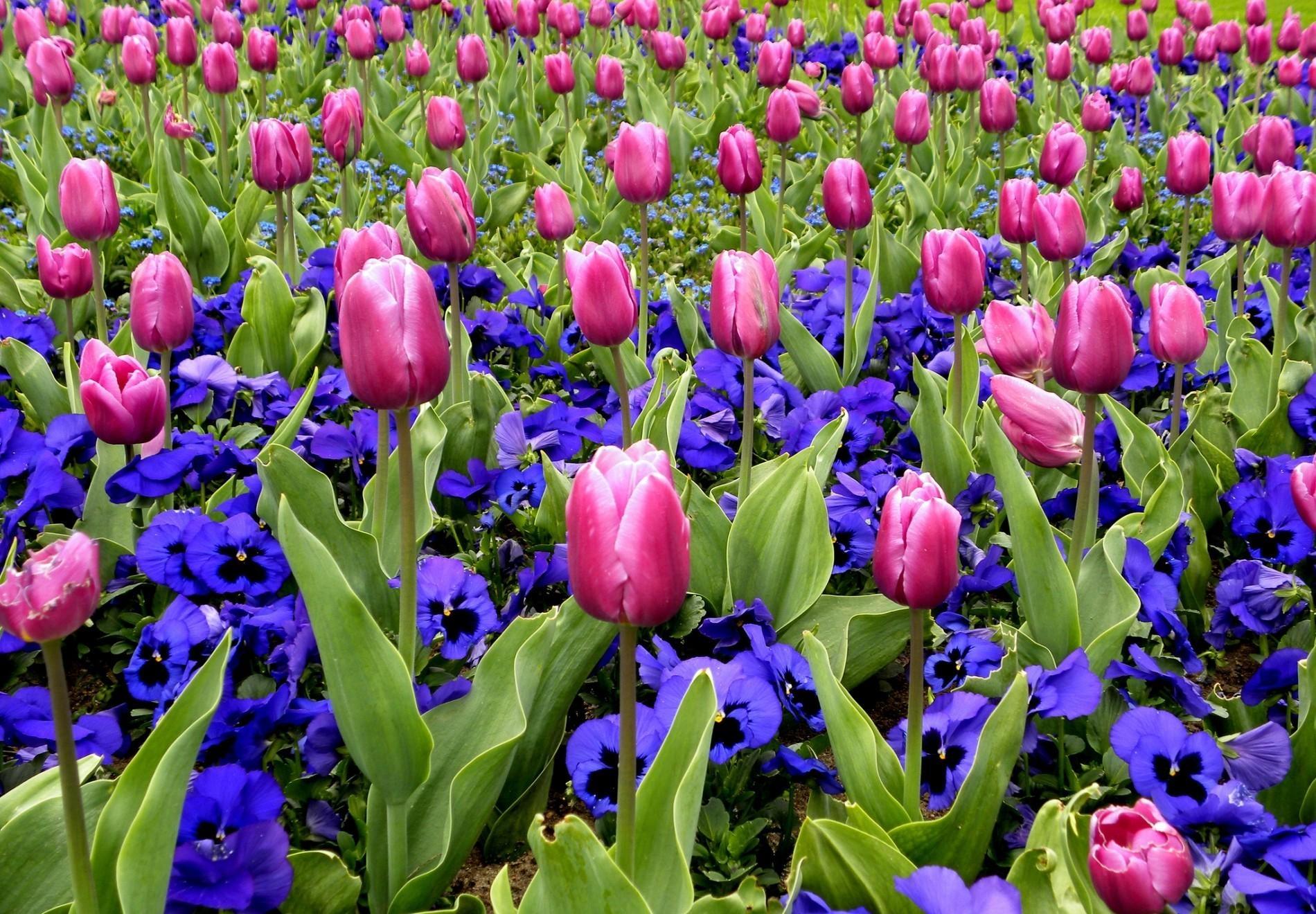 98900 Заставки и Обои Анютины Глазки на телефон. Скачать Цветы, Анютины Глазки, Тюльпаны, Клумба, Весна картинки бесплатно