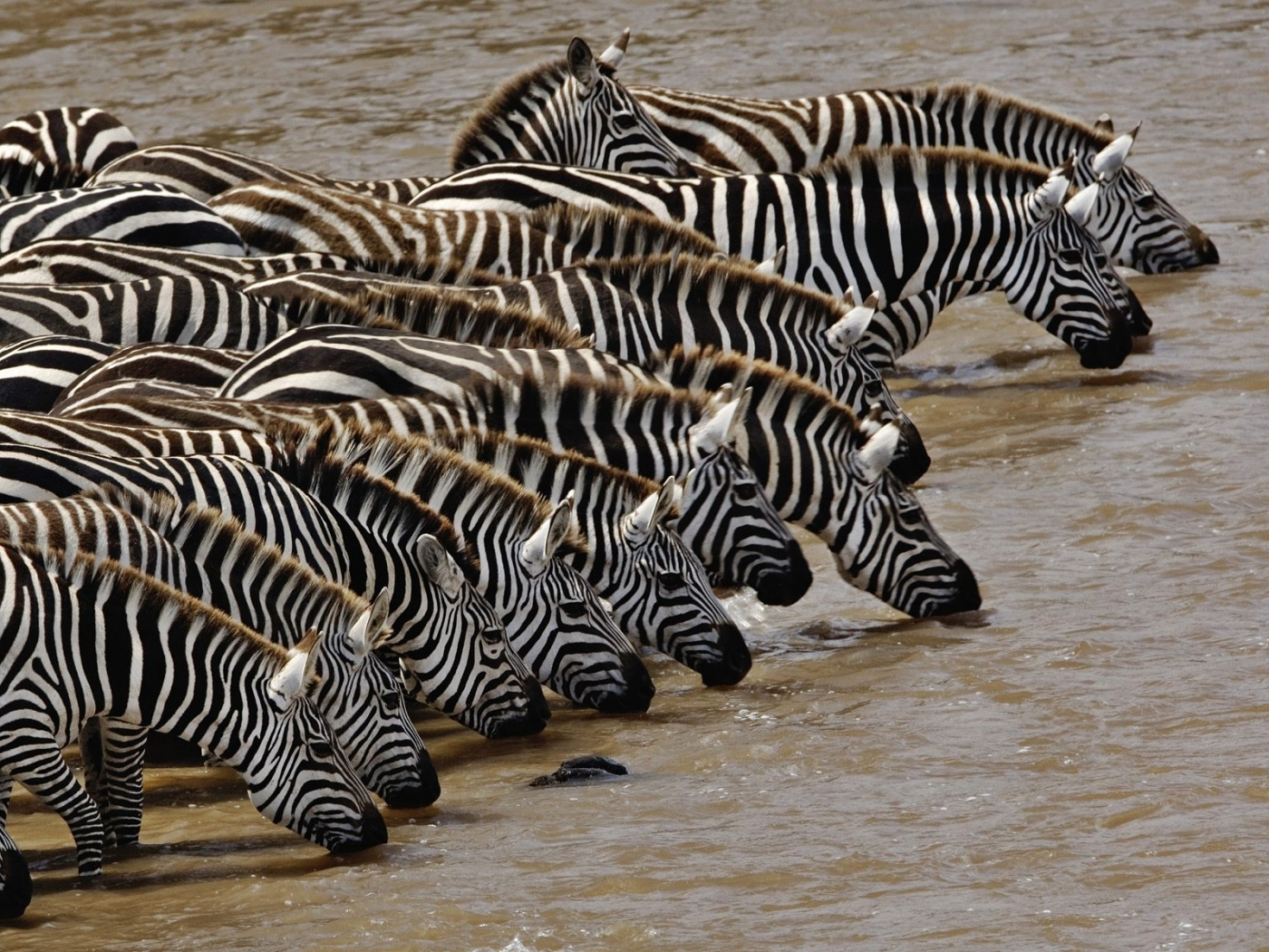 44933 download wallpaper Animals, Zebra screensavers and pictures for free