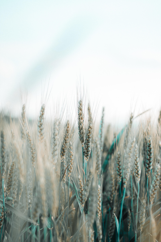 62288 скачать обои Макро, Колоски, Поле, Зерно, Злаки, Пшеница - заставки и картинки бесплатно