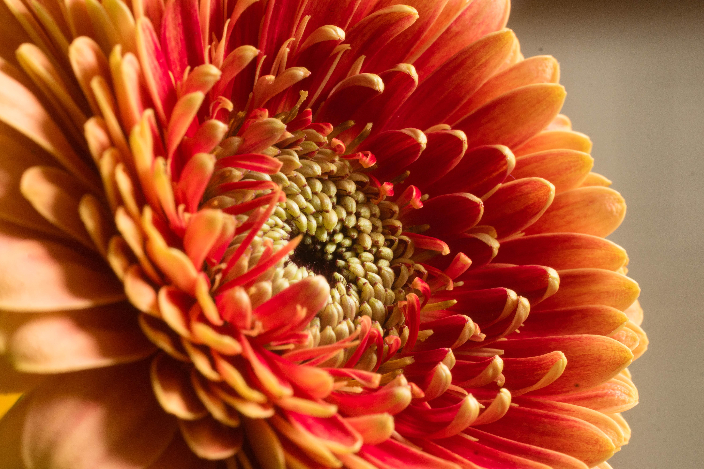 73281 download wallpaper Macro, Chrysanthemum, Flower, Petals screensavers and pictures for free