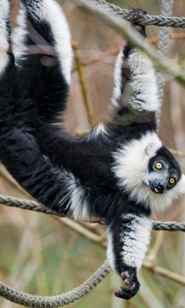104167 download wallpaper Animals, Lemur, Animal, Protruding Tongue, Tongue Stuck Out, Funny screensavers and pictures for free
