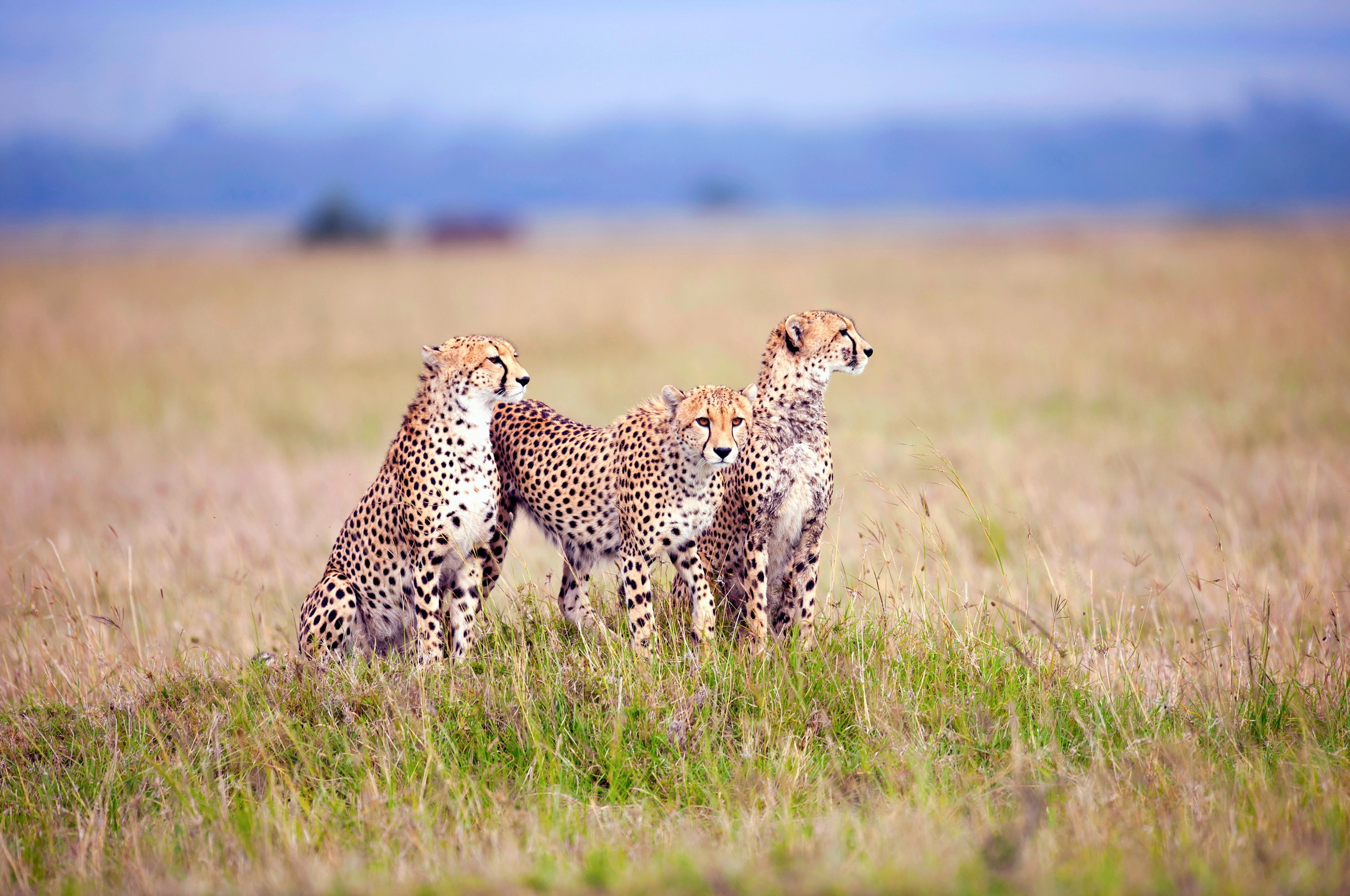 134335 Screensavers and Wallpapers Predators for phone. Download Animals, Grass, Cheetah, Predators, Field, Three pictures for free