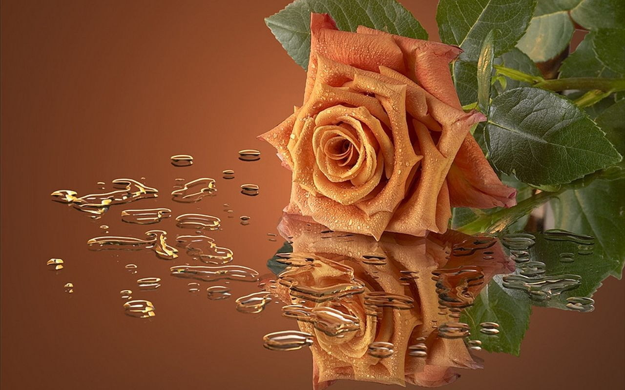41943 download wallpaper Roses, Flowers, Pictures, Plants screensavers and pictures for free