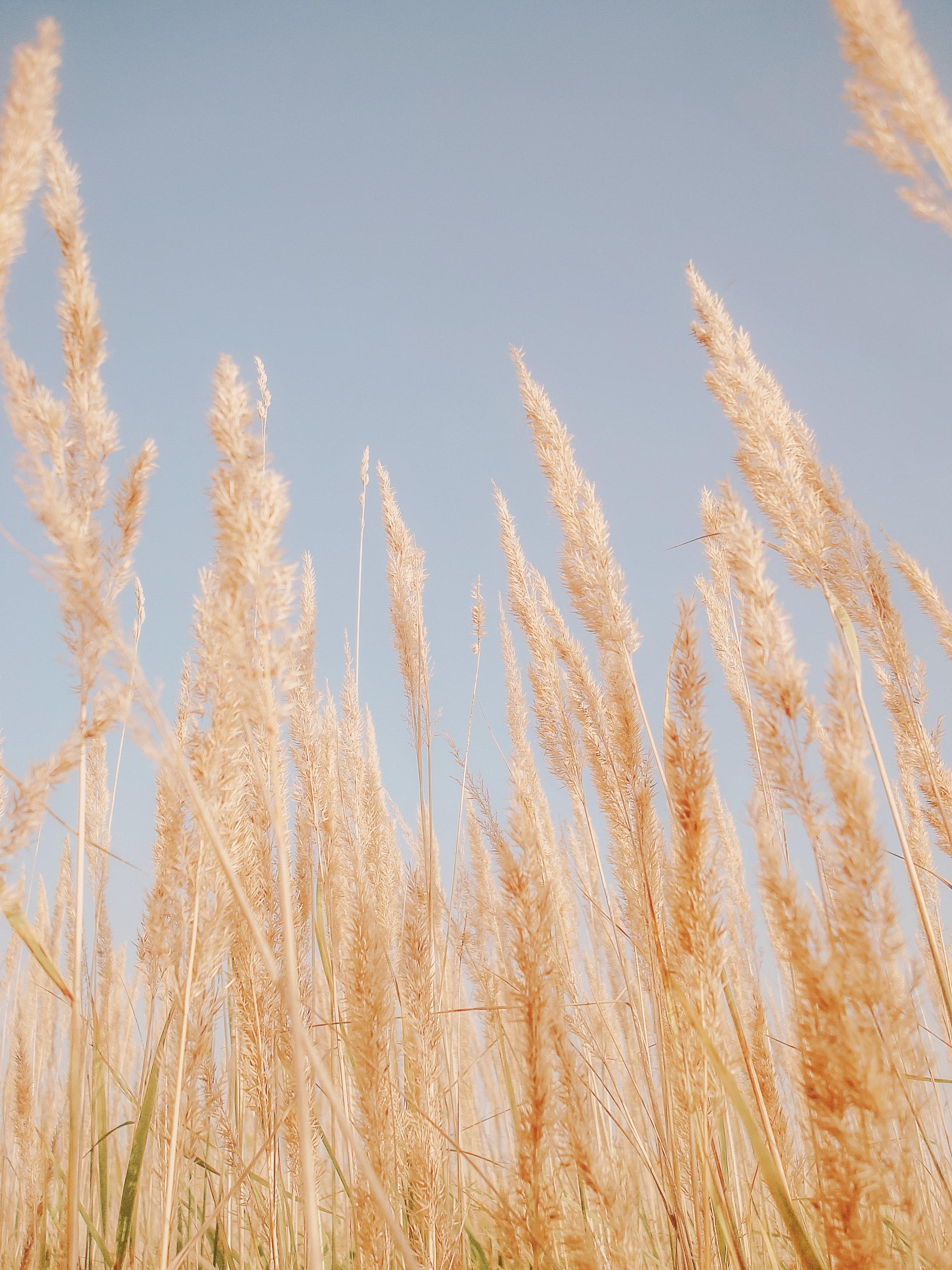 64925 скачать обои Природа, Тростник, Трава, Коричневый, Сухой, Растения - заставки и картинки бесплатно