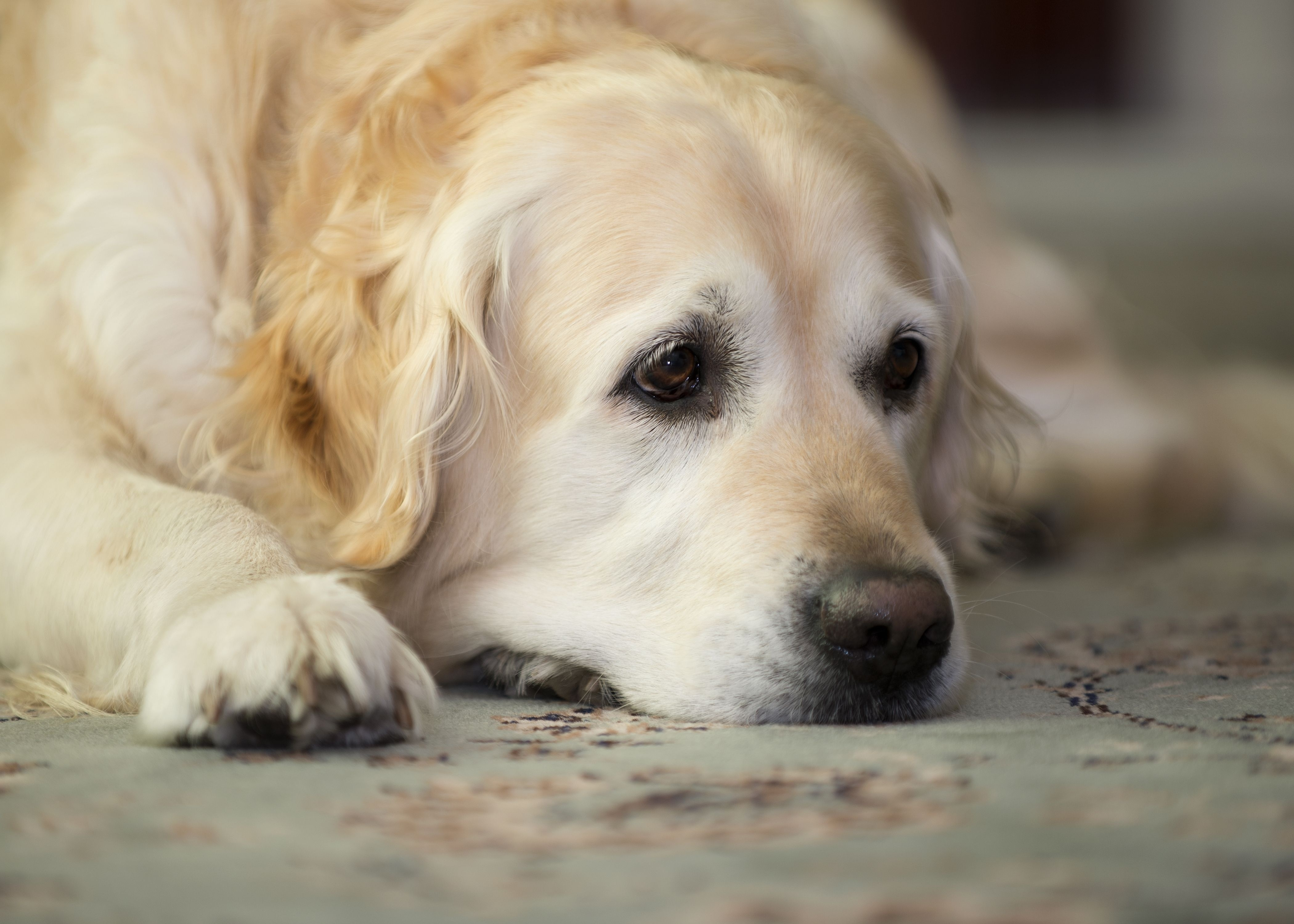 56786 download wallpaper Animals, Golden Retriever, Dog, Muzzle, To Lie Down, Lie, Sadness, Sorrow, Nice, Sweetheart screensavers and pictures for free