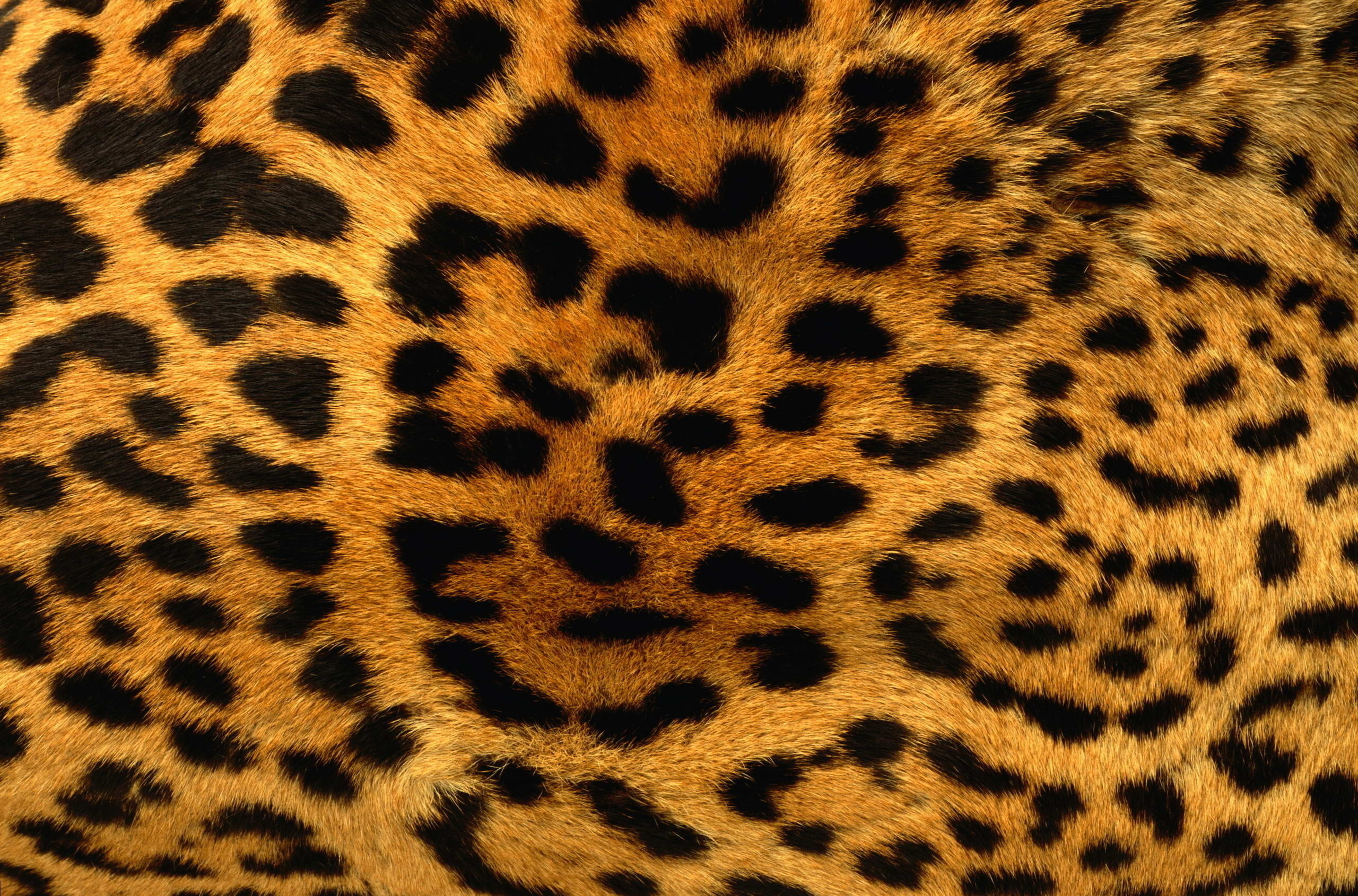 17082 download wallpaper Background, Leopards screensavers and pictures for free