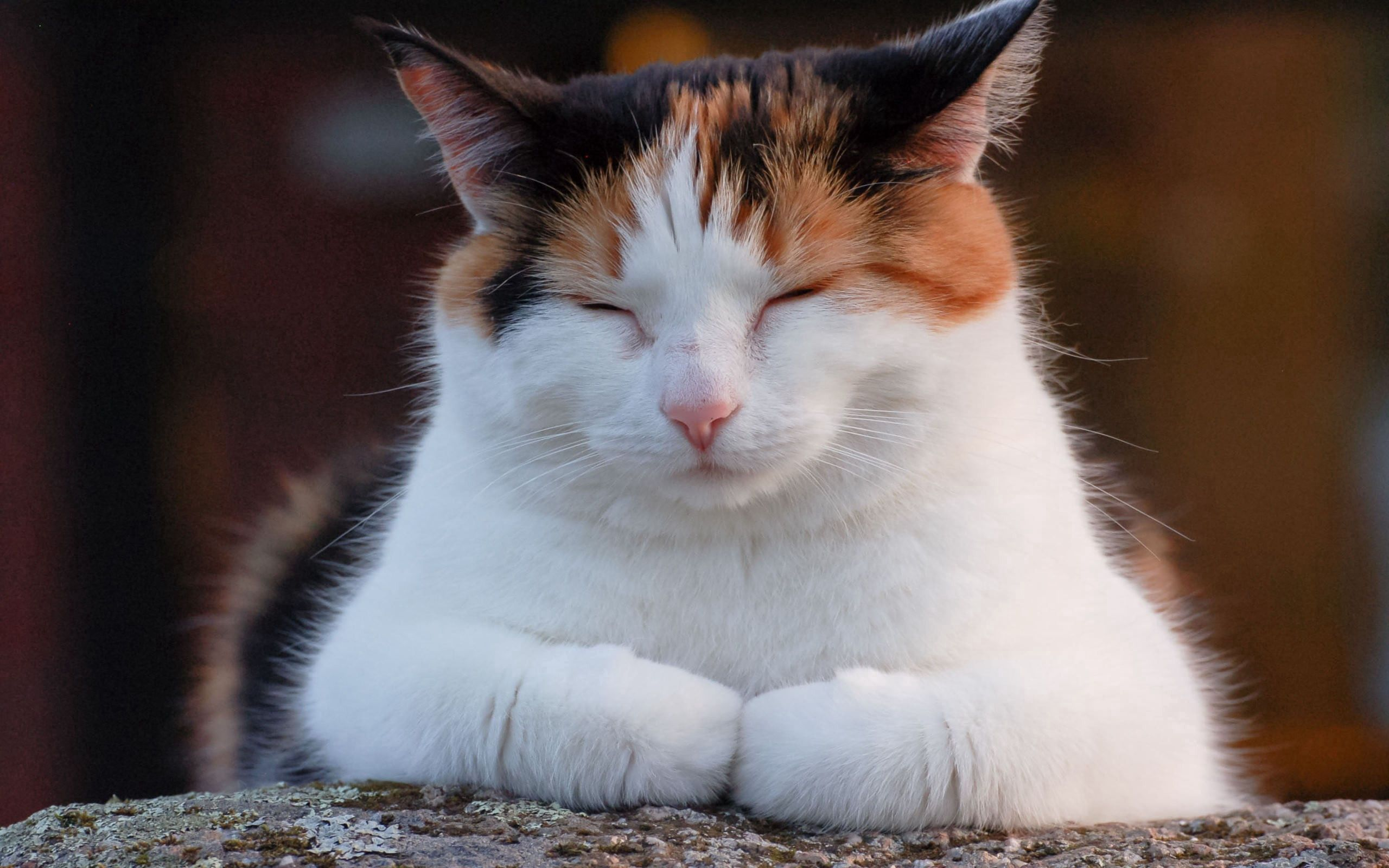 83615 download wallpaper Animals, Cat, Fat, Thick, Relaxation, Rest, Sleep, Dream, Nap, Doze, Spotted, Spotty screensavers and pictures for free