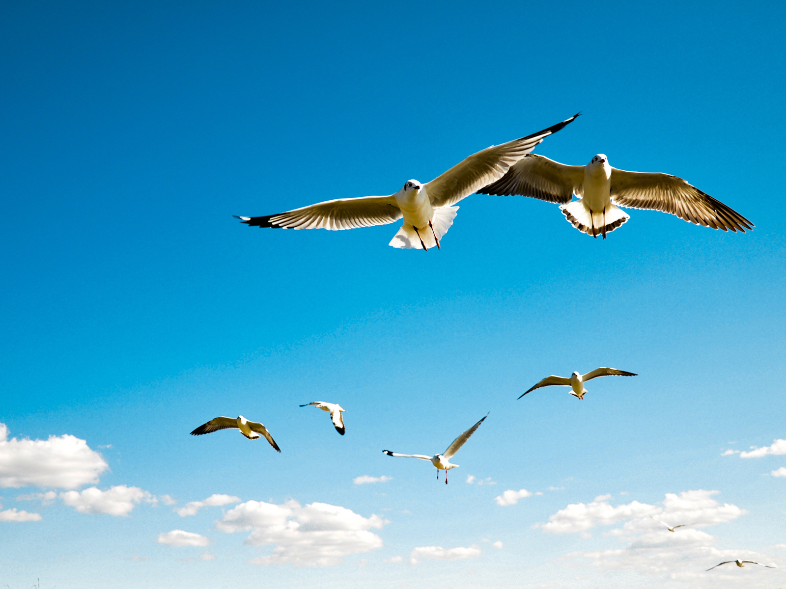 20758 download wallpaper Animals, Birds, Sky, Seagulls screensavers and pictures for free