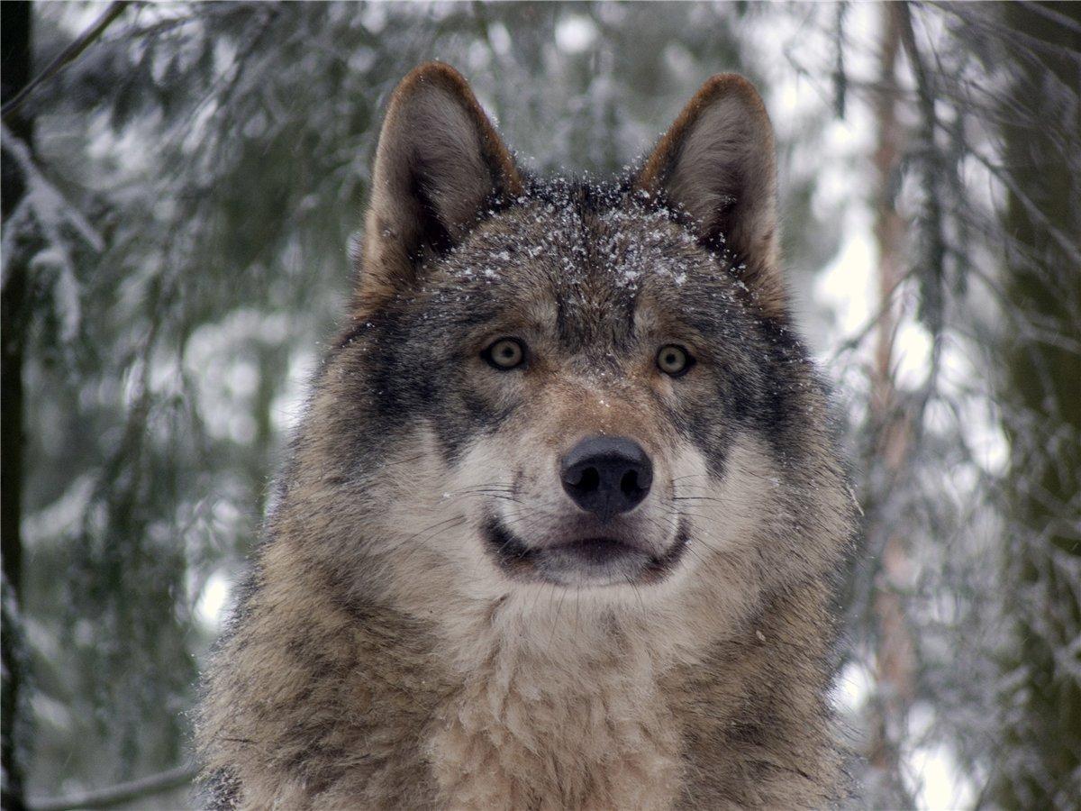 14255 скачать обои Волки, Животные - заставки и картинки бесплатно