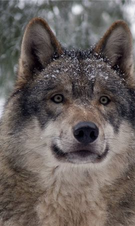 14255 baixar papel de parede Animais, Lobos - protetores de tela e imagens gratuitamente