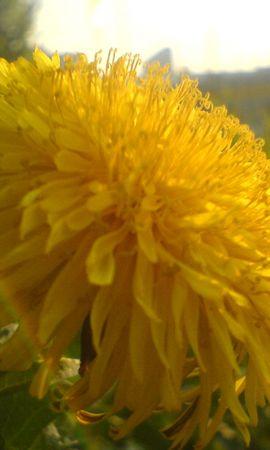 3588 скачать обои Растения, Цветы, Одуванчики - заставки и картинки бесплатно