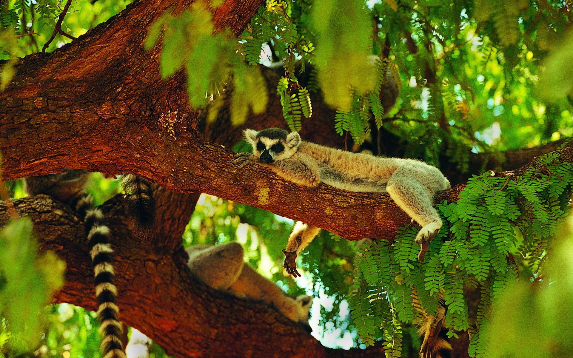 130837 download wallpaper Animals, Lemur, Asleep, Sleeps, Wood, Tree screensavers and pictures for free