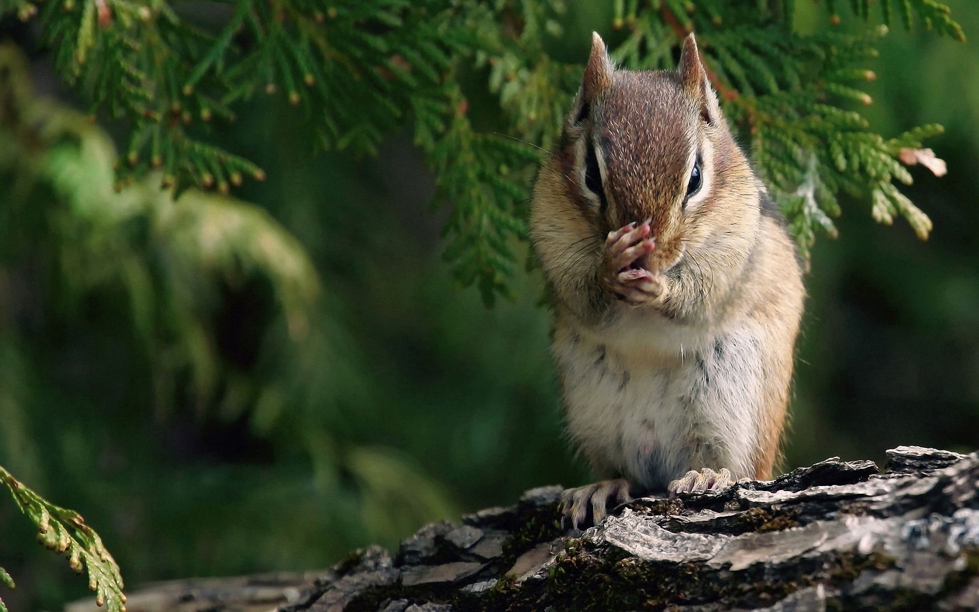 126651 download wallpaper Animals, Chipmunk, Branch, Trees, Sit screensavers and pictures for free