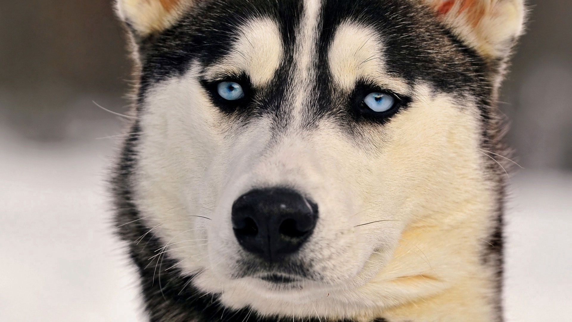 84805 download wallpaper Animals, Dog, Husky, Haska, Muzzle, Sight, Opinion screensavers and pictures for free
