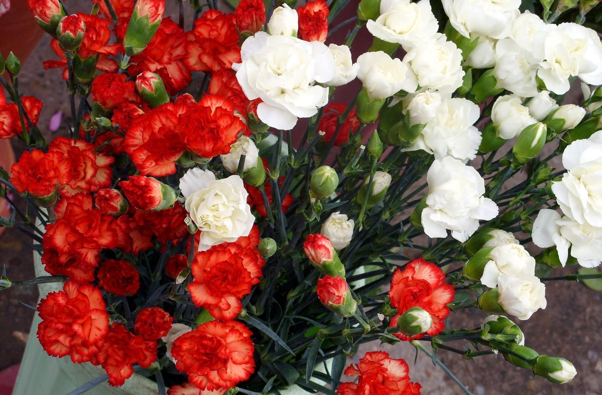 57003 Заставки и Обои Гвоздики на телефон. Скачать Цветы, Гвоздики, Красный, Белый, Много картинки бесплатно