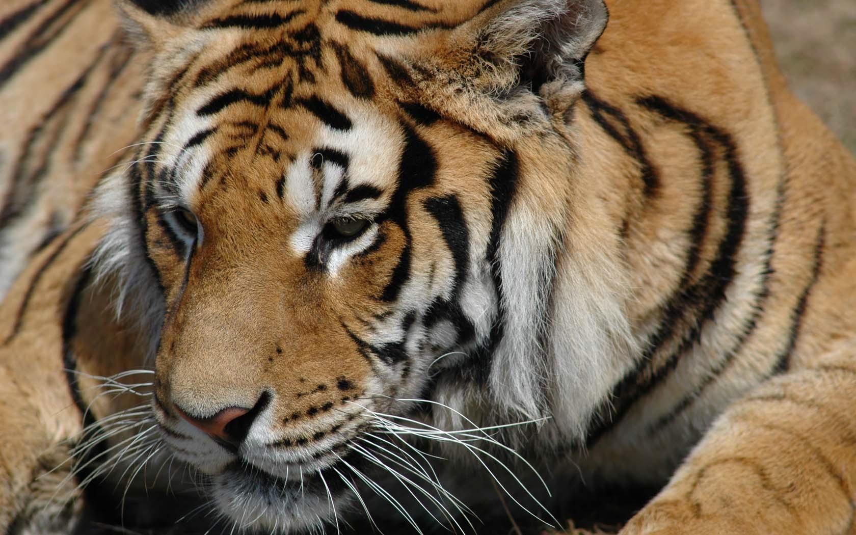 4795 descargar fondo de pantalla Animales, Tigres: protectores de pantalla e imágenes gratis