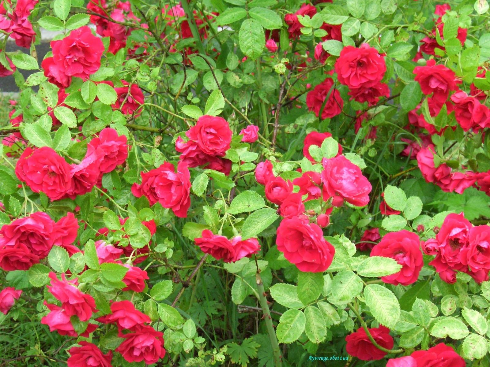 5294 скачать обои Растения, Цветы, Розы - заставки и картинки бесплатно