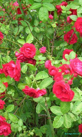 5294 télécharger le fond d'écran Plantes, Fleurs, Roses - économiseurs d'écran et images gratuitement