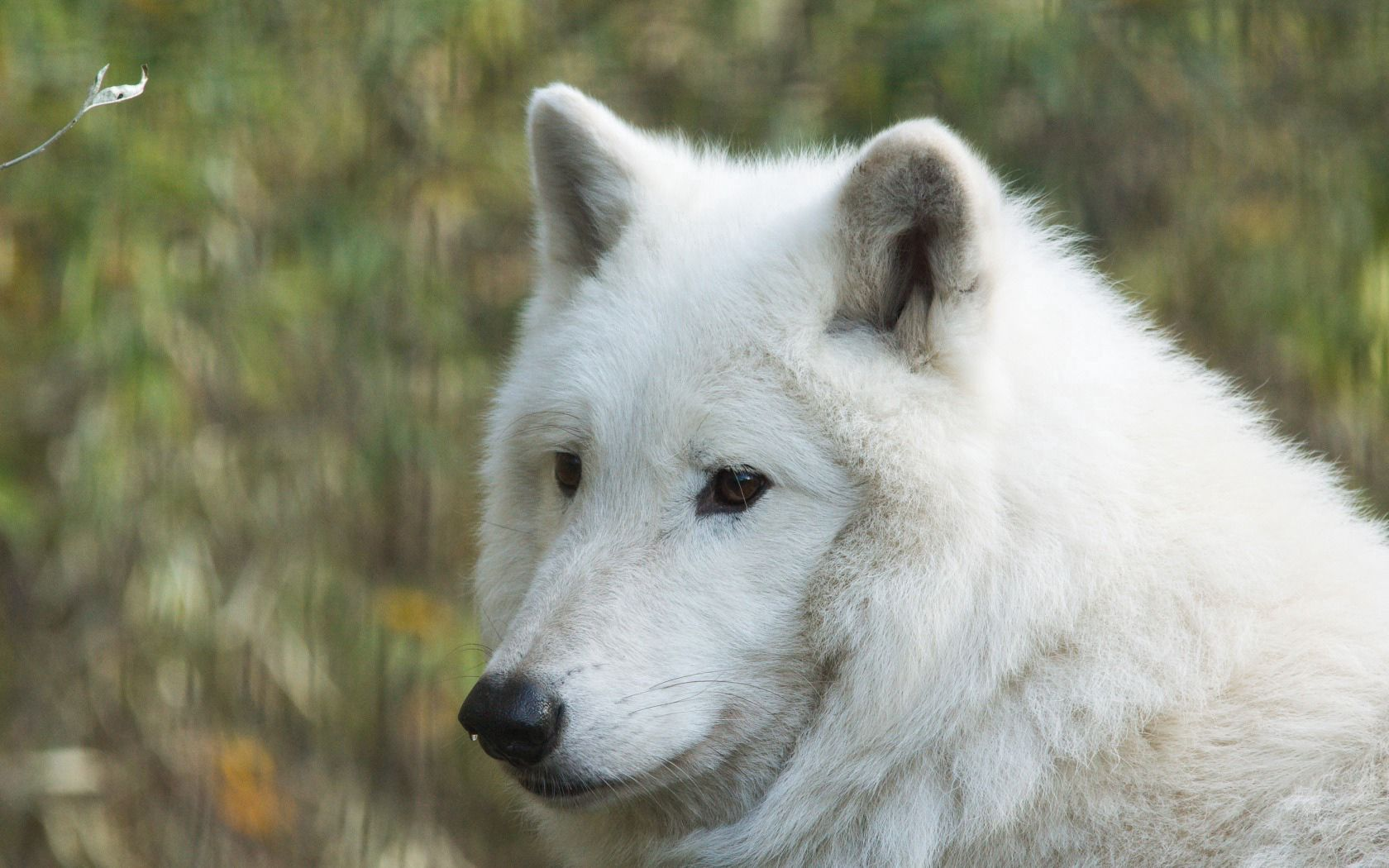 94281 download wallpaper Animals, Hudson Wolf, Wolf, Muzzle, Predator screensavers and pictures for free