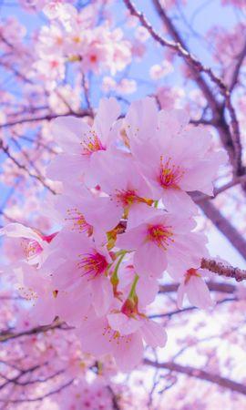138012 скачать обои Цветы, Сакура, Цветение, Весна, Розовый - заставки и картинки бесплатно