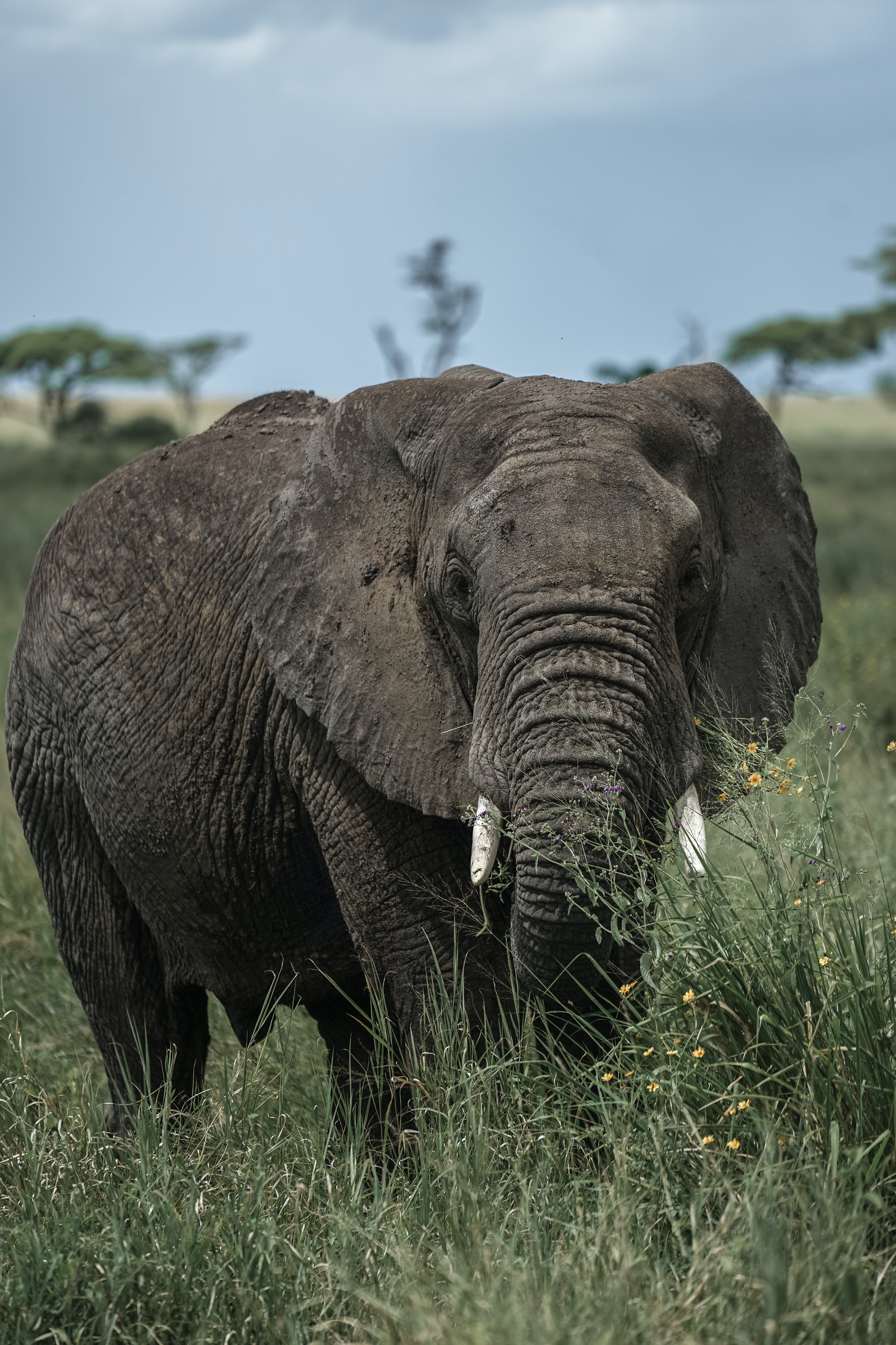 144429 download wallpaper Animals, Elephant, Tusks, Grass, Animal screensavers and pictures for free