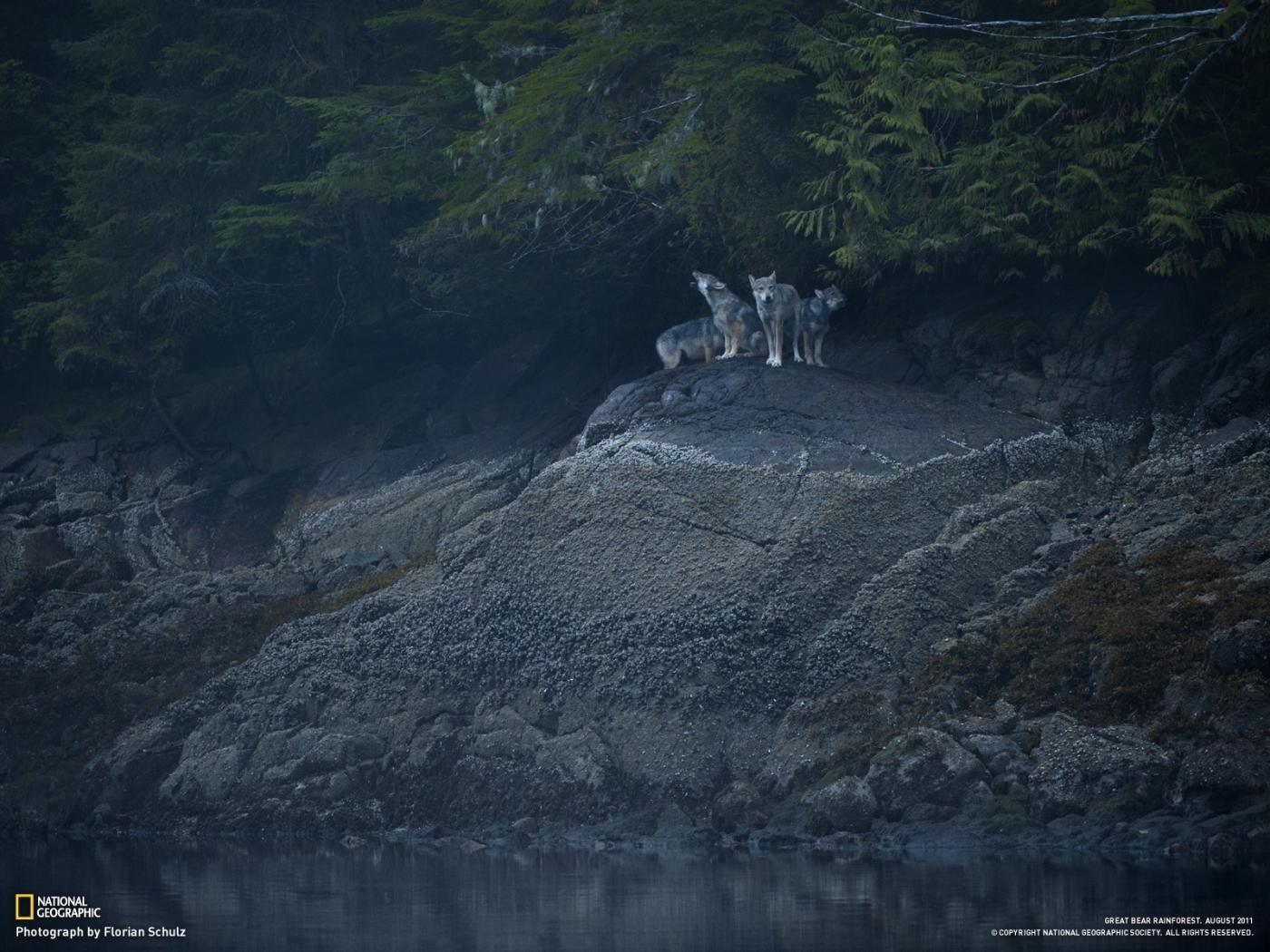 25450 скачать обои Животные, Пейзаж, Волки, Река, Деревья - заставки и картинки бесплатно