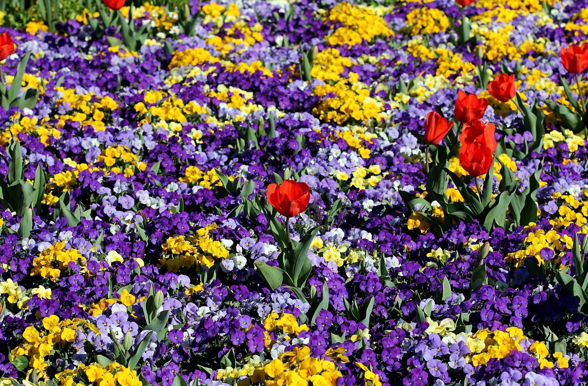 80861 скачать обои Цветы, Клумба, Весна, Тюльпаны, Анютины Глазки - заставки и картинки бесплатно