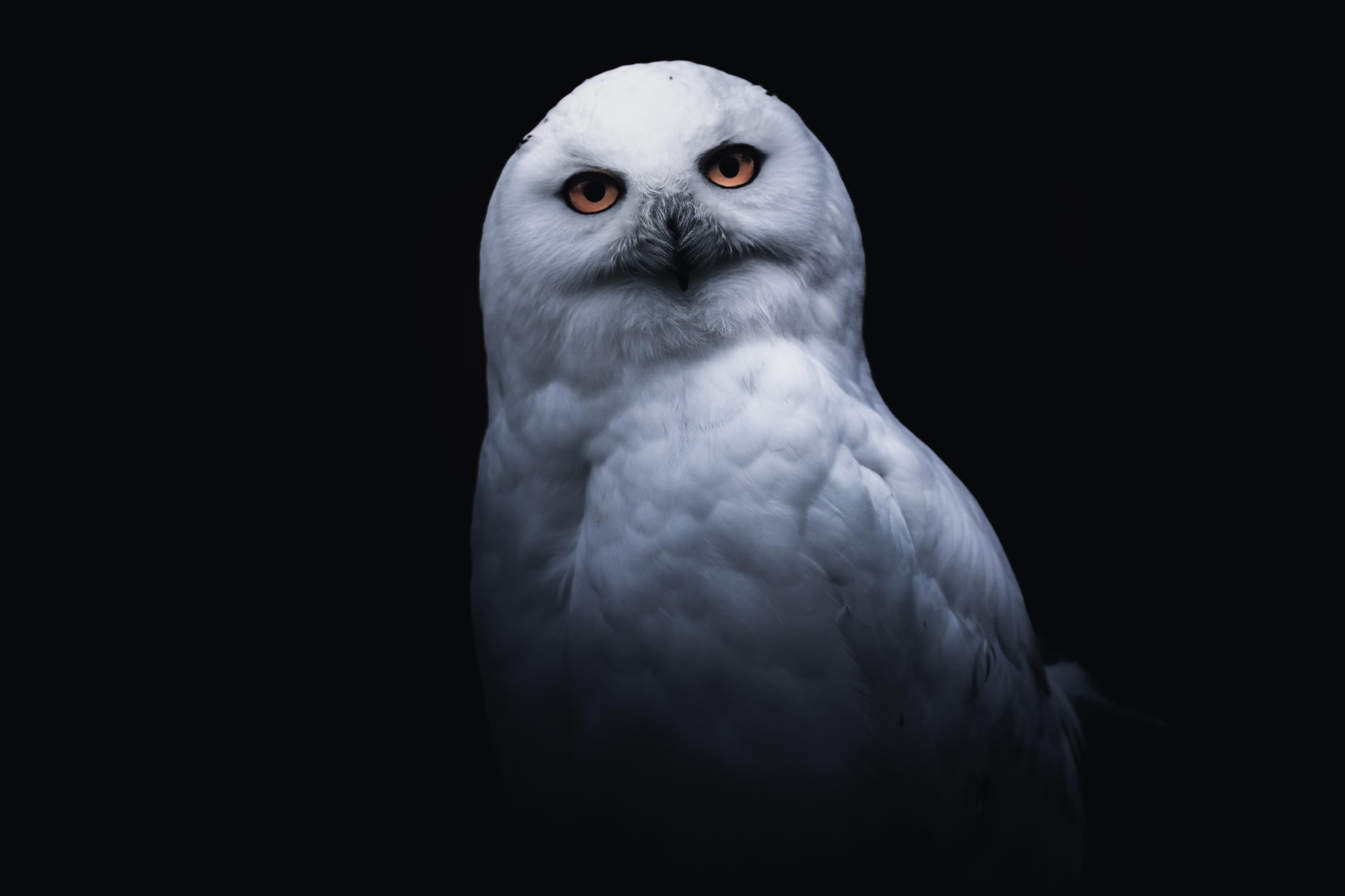 111225 скачать обои Животные, Сова, Птица, Белый, Взгляд - заставки и картинки бесплатно