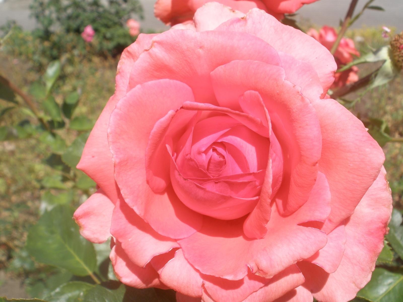 392 скачать обои Растения, Цветы, Розы - заставки и картинки бесплатно