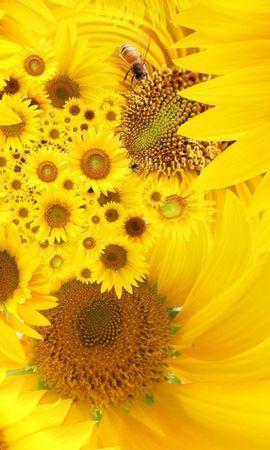22128 télécharger le fond d'écran Plantes, Fleurs, Insectes, Tournesols, Abeilles - économiseurs d'écran et images gratuitement