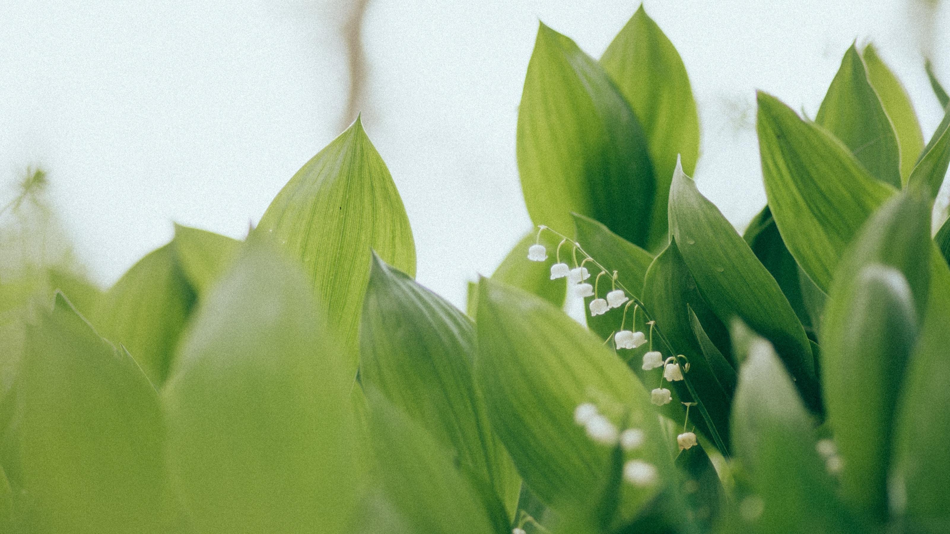 133947 Hintergrundbild herunterladen Blumen, Blätter, Maiglöckchen - Bildschirmschoner und Bilder kostenlos