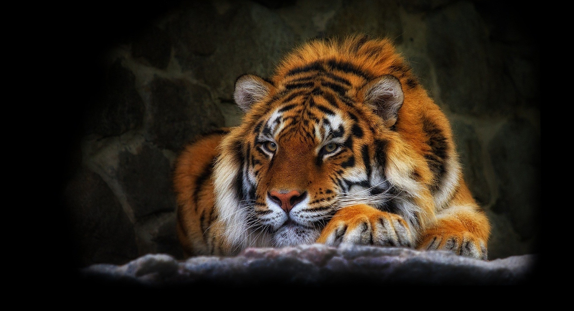 129737 download wallpaper Animals, Tiger, Wild Cat, Wildcat, Dark Background screensavers and pictures for free