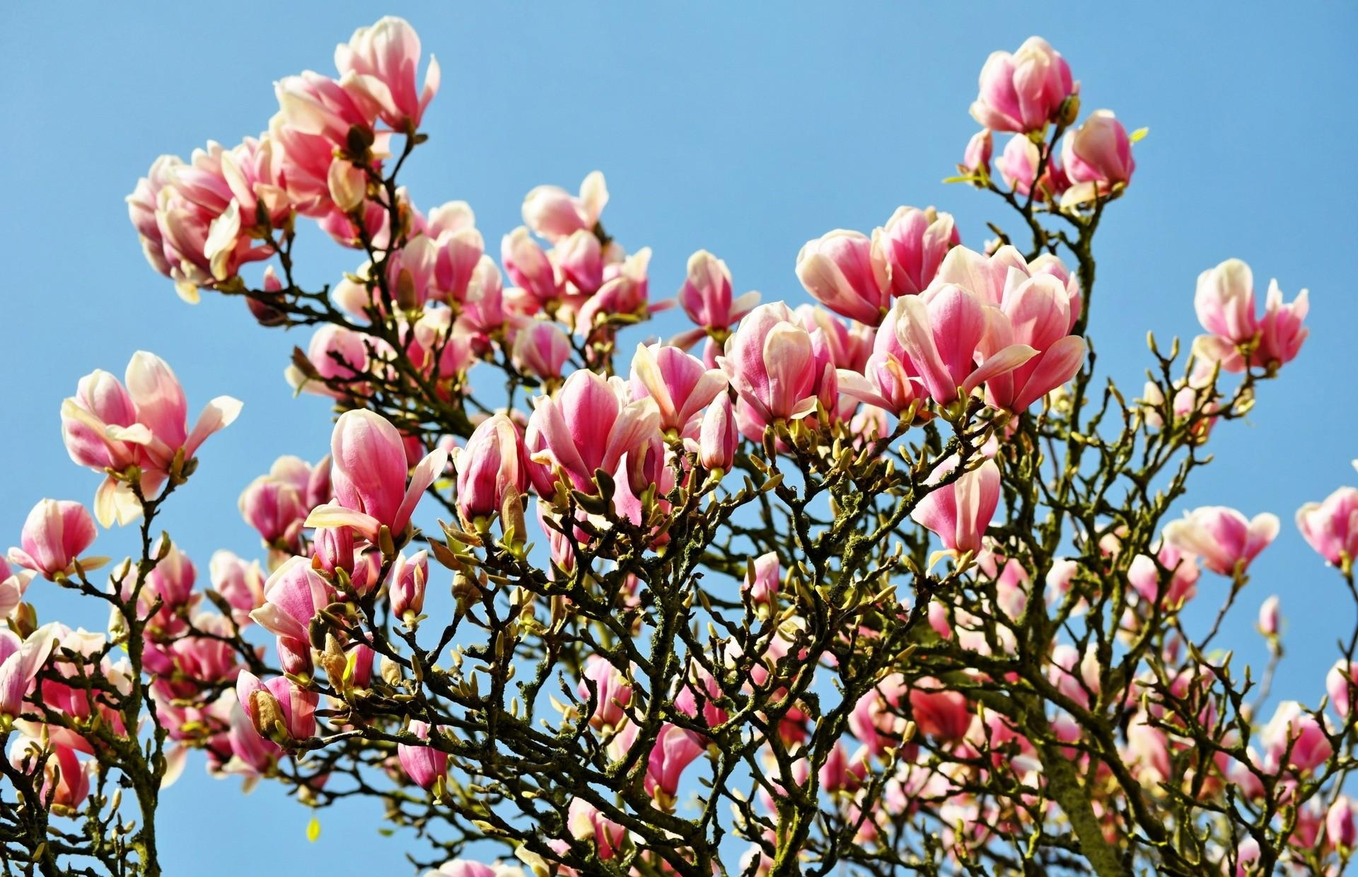 141613 download wallpaper Flowers, Magnolia, Bloom, Flowering, Branches, Spring, Sky screensavers and pictures for free