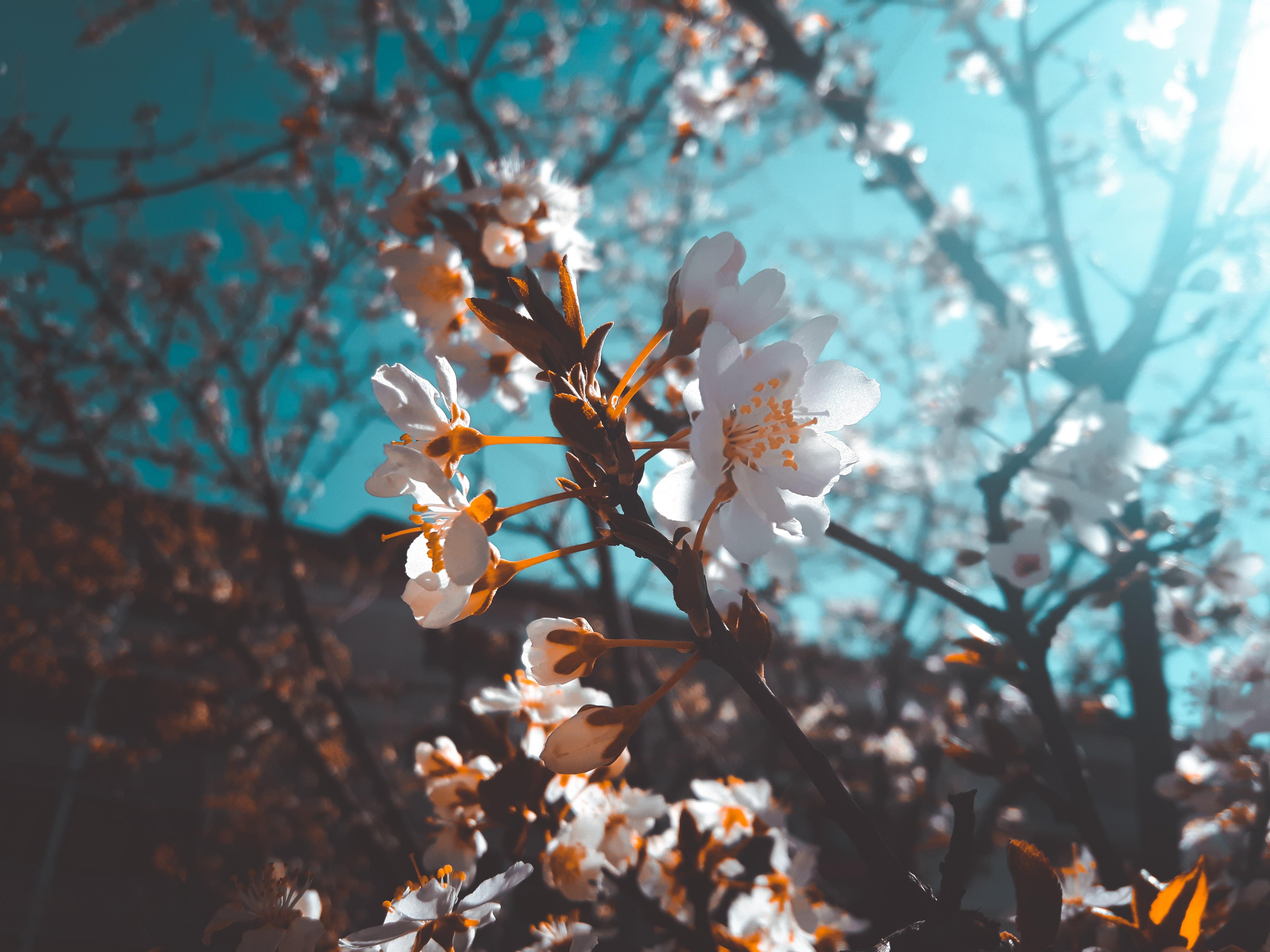 93946 Screensavers and Wallpapers Sakura for phone. Download Flowers, Sakura, Macro, Bloom, Flowering pictures for free