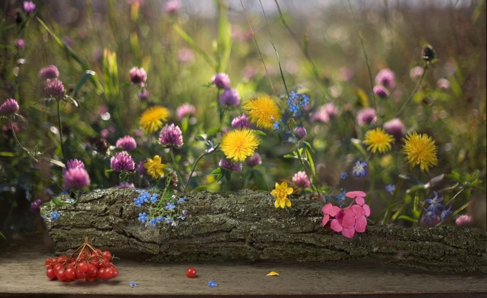 80562 Hintergrundbild herunterladen Löwenzahn, Blumen, Unschärfe, Glatt, Beere, Kleeblatt, Klee, Log, Protokoll, Vergissmeinnicht, Vergiss Mein-Nots - Bildschirmschoner und Bilder kostenlos